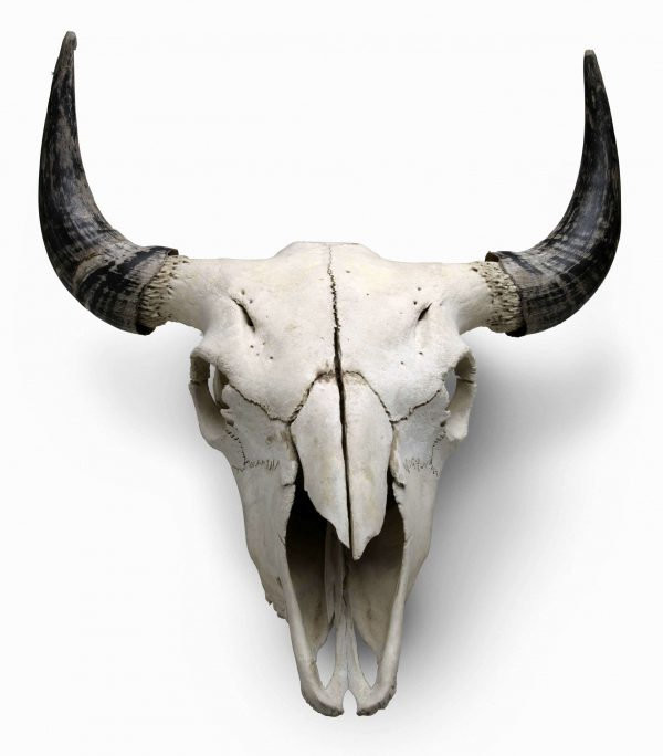 Bison skull, c. 2009, bone, courtesy Smoky Hill Bison Ranch.